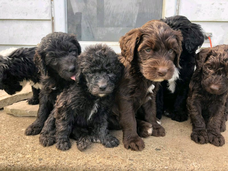 Old English Sheepdogpoodle Mix Dogs Buy Sell Ukrcanada